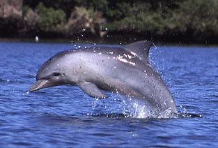Bottle-Nosed Dolphin.jpg