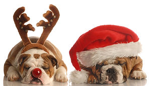 Weihnachtsbulldoggen