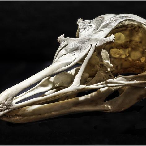 Herring gull skull