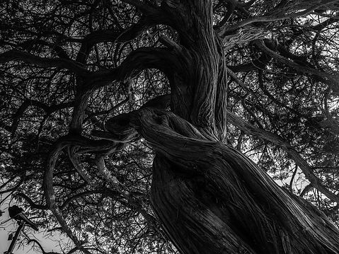 tree_black_and_white_kahl_nature_black_a