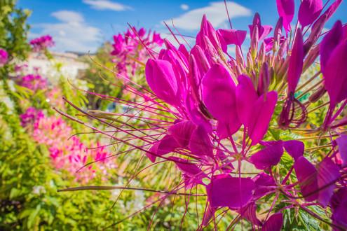 bright fuschia flowers
