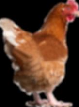 Vintage Farm of Oconomowoc, WI | Free Rage Chicken | Farm Fresh Eggs | Turkey | Whole & Half Pig Roasts