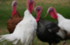 Free Range Thanksgiving Turkey in Oconomowoc, WI
