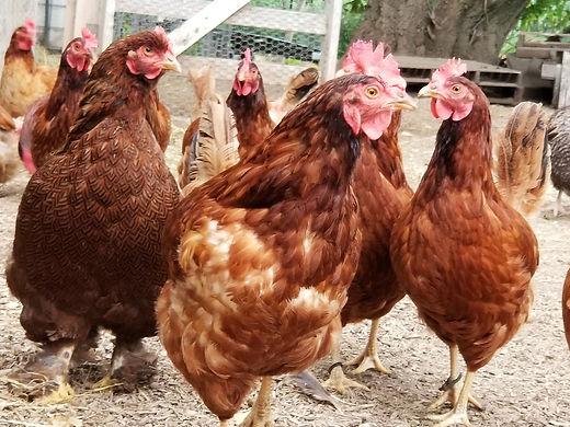 Waukesha County Farm Fresh | Free Range Chickens | Pasture Raised Chicken Eggs
