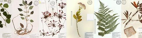 herbarium-specimen-sheets-montage-header