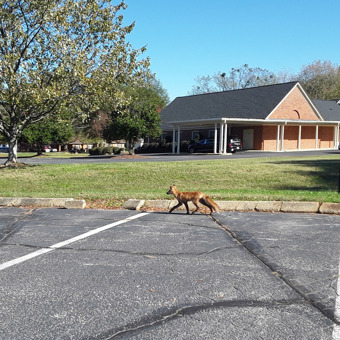 Red Fox Spotted on the Grounds of GFCC