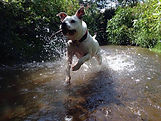 Staffordshire terrior running through water towards the camera with a stick in his mouth