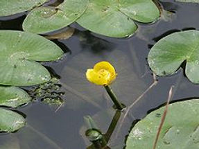 Spatterdock, cow lily