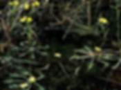 Bladderwort