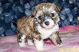 Female Chinese Crested Powder Puff