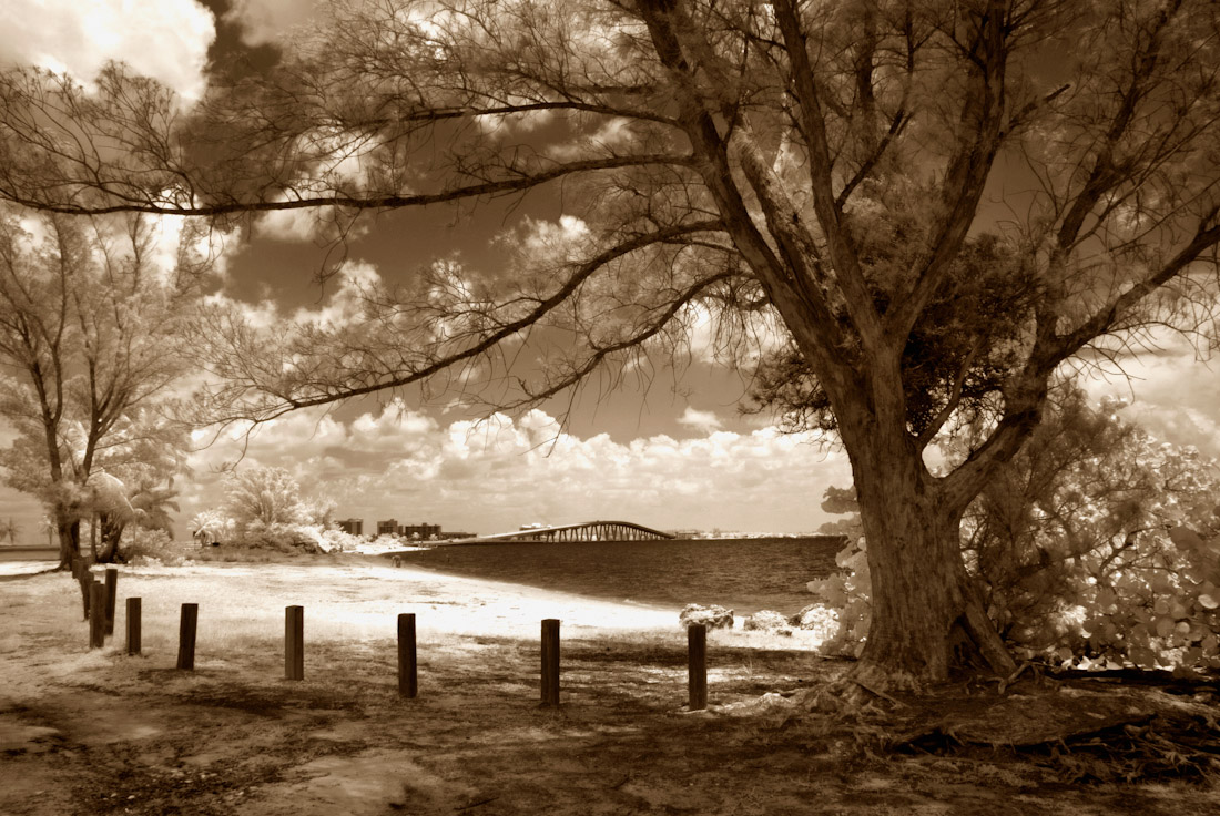 Australian Pine on Causeway