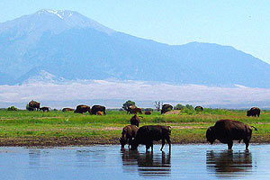 Bison East of Mosca