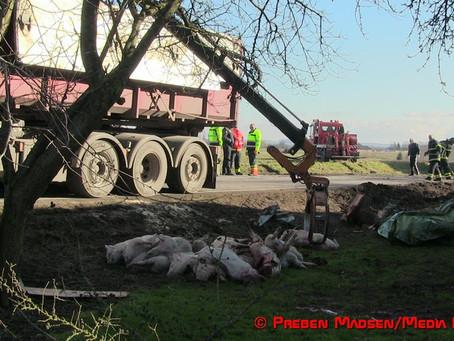 Grisebil væltede: Omkring 35 grise mistede livet