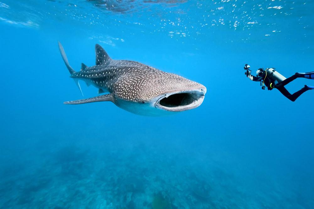 Tiburón ballena