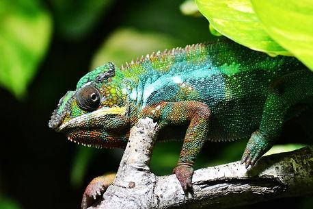 chameleon-318649_1920.jpg