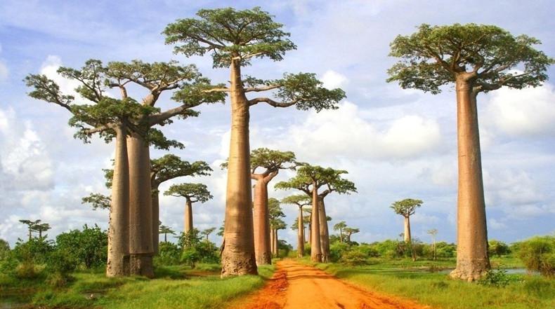 La Avenida de los Baobabs en Madagascar.