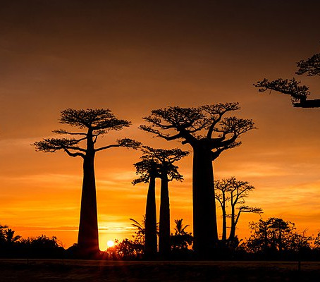 THE BAOBAB, THE TREE OF LIFE