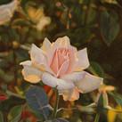 A Rose at Sunset