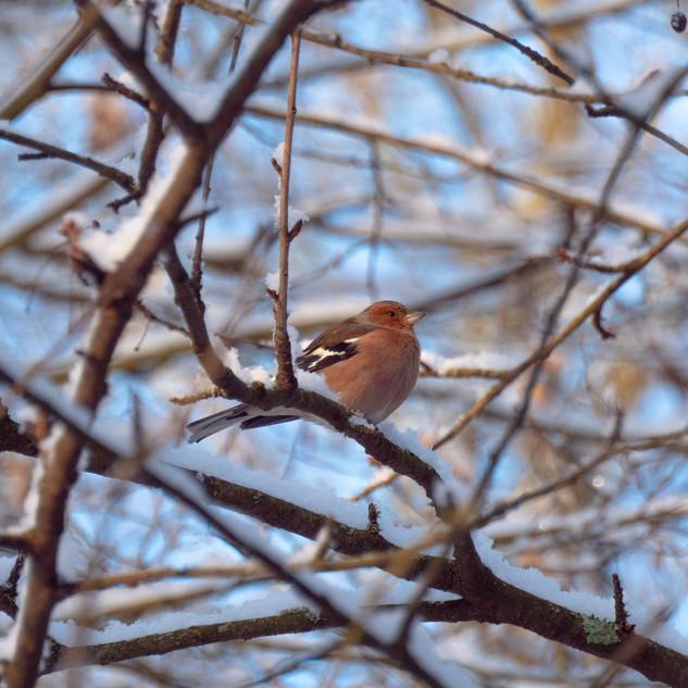 Vogel im baum schnee 3 (1 von 1).jpg