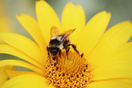 Summer - how sweet it is!  This bee is luxuriating in the pollen harvest.