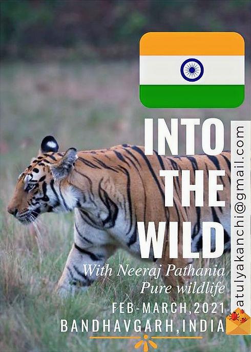Tiger Bandhavgarh National Park India