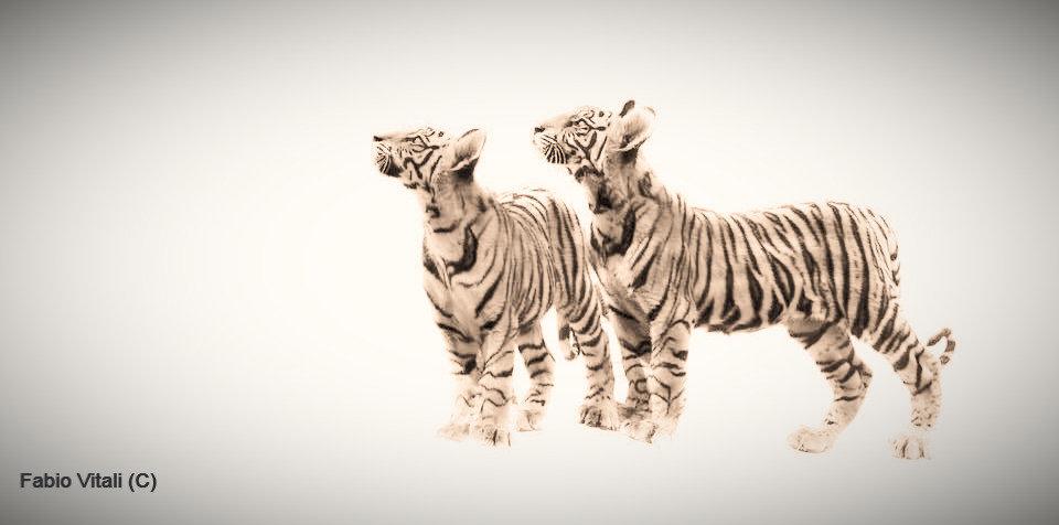 Tiger Cubs in Bandhavgarh National Park, Madhya Pradesh, India