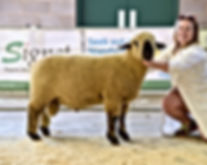 1st Untrimmed Ramlambs National Show Shr