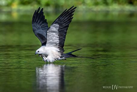 Swallow Tailed Kite.jpg