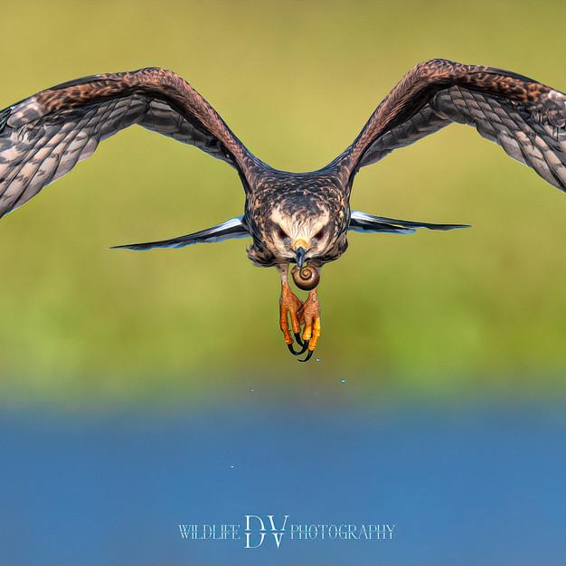 Snail Kite 3.jpg