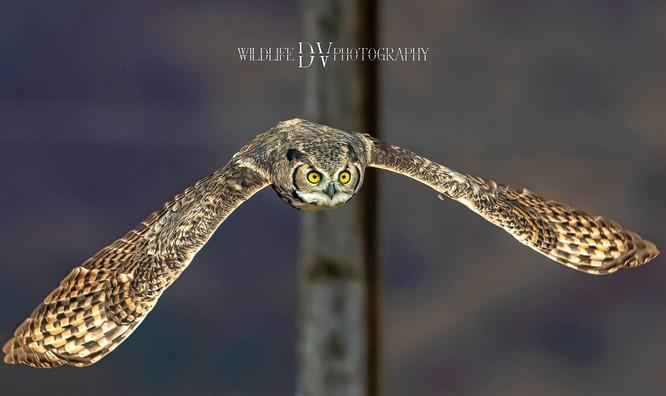 OWL HO.jpeg