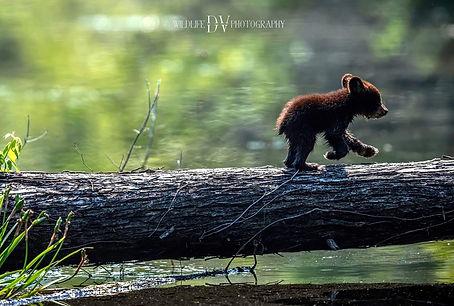 Black Bear Cubs 2.jpg