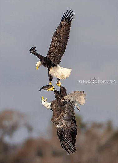 Eagles Battling.jpg