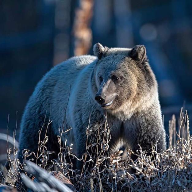 Grizzly Bear Snow.jpg