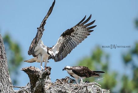Osprey Blue Cypress Lake 3.jpg