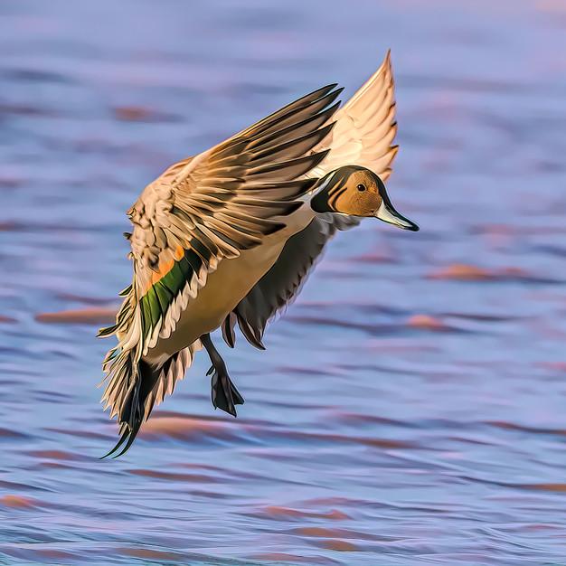 Pintail Duck.jpeg