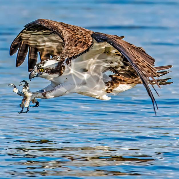 Osprey Talons Out.jpeg