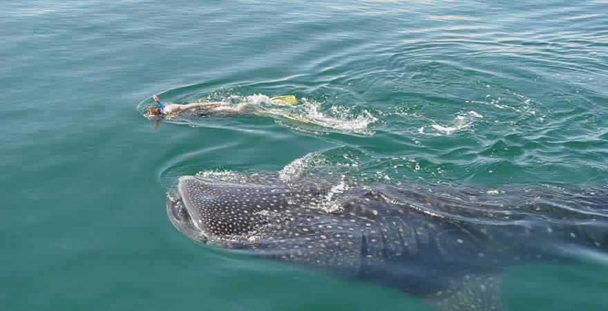Nado con tiburón ballena en Holbox