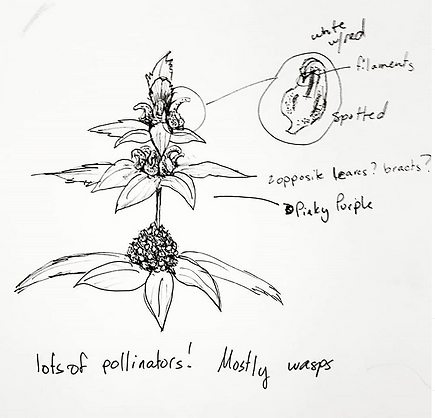 Bee Balm.PNG