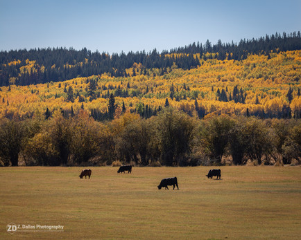 Cows and Colours