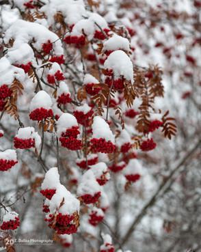 Berries on Snow