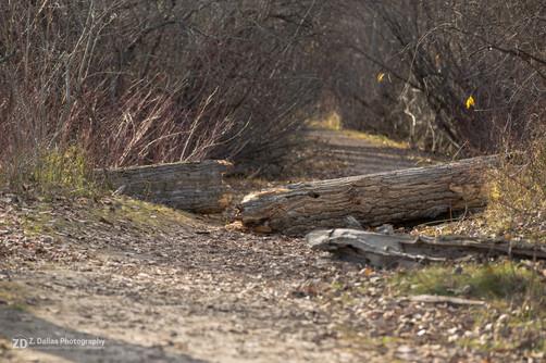 Fallen Cottonwood