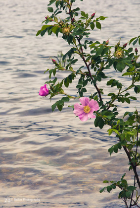 Wild Rose in the Water