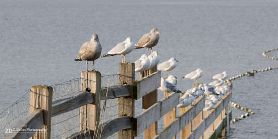 Seaguls Lined Up