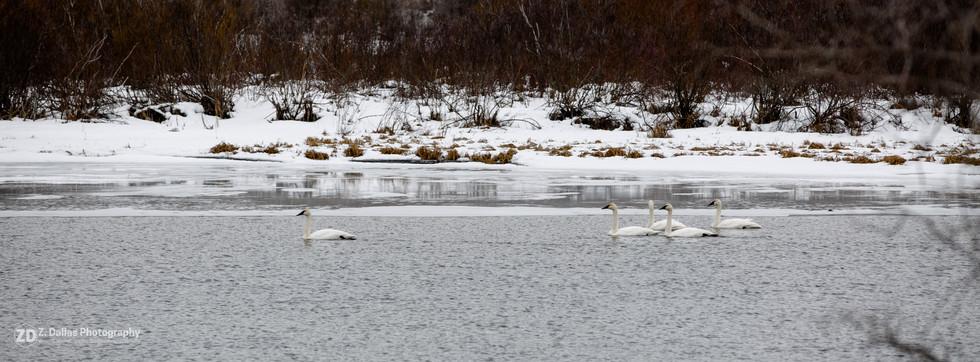 Fraser Lake Swans