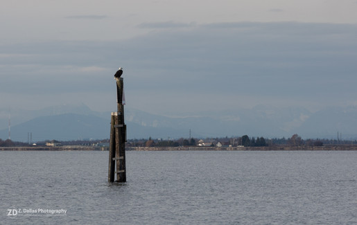 Eagle Overlooking the Bay