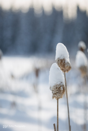 Snowcapped Cattails