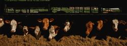 Farm-Shop-Banner-Cows