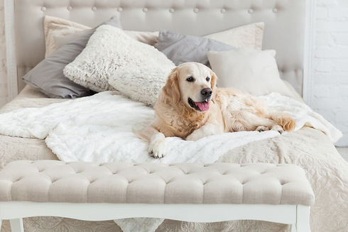 Golden retriever puppy dog in luxurious