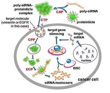 Targeted Delivery of siRNA to Cancer Cel
