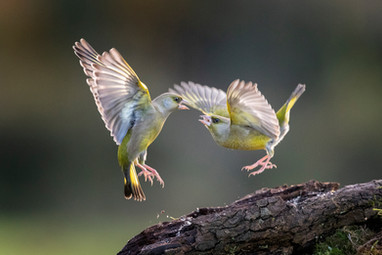2019RFNHM_PRINT_080 - Duelling Greenfinches by Hugh Wilkinson.  Commended
